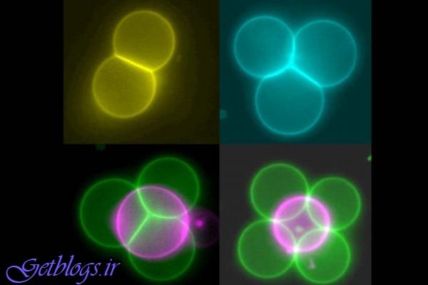 استفاده از انبرک های نوری جهت تولید بافت با سلول های مصنوعی
