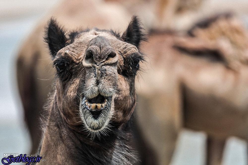 تصاویر) + شستشوی شترها در جزیره قشم (