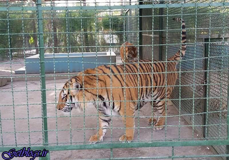 کشف داروهای تاریخ گذشته در باغ وحش ، کشف 2 تخته پوست یوزپلنگ تازه در باغ وحش مشهد