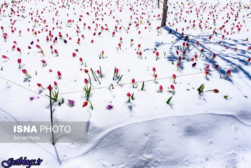 بزرگترین باغ لاله کشور عزیزمان ایران زیر برف رفت