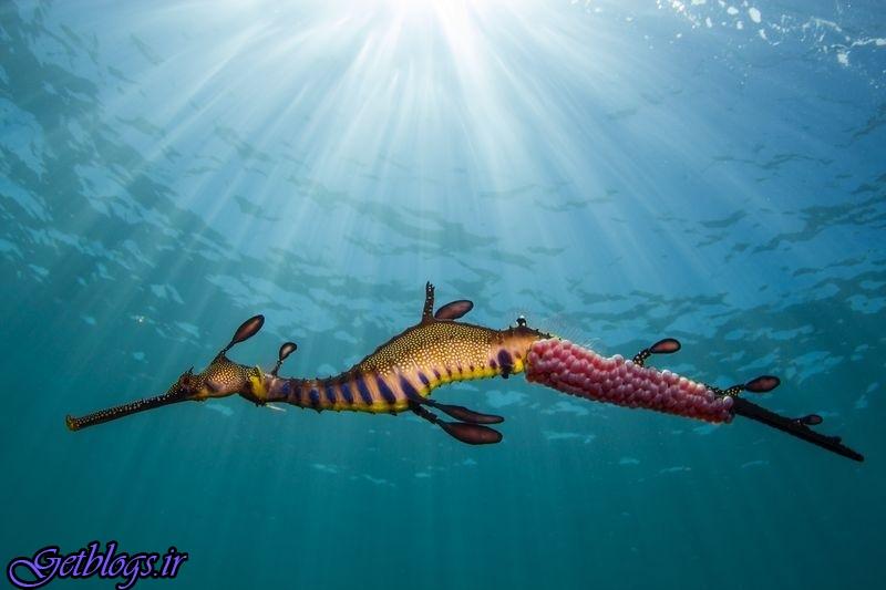 تصویر ، اژدهای دریایی در تصویر روز نشنال جئوگرافیک