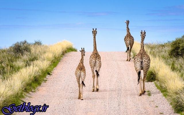 تصویر ، راه رفتن زرافهها در بزرگراه در تصویر روز نشنال جئوگرافیک