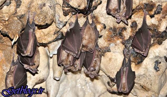 لانه خفاشهای غارنشین را در غرب کشور، 50 میلیون تومان میخرند
